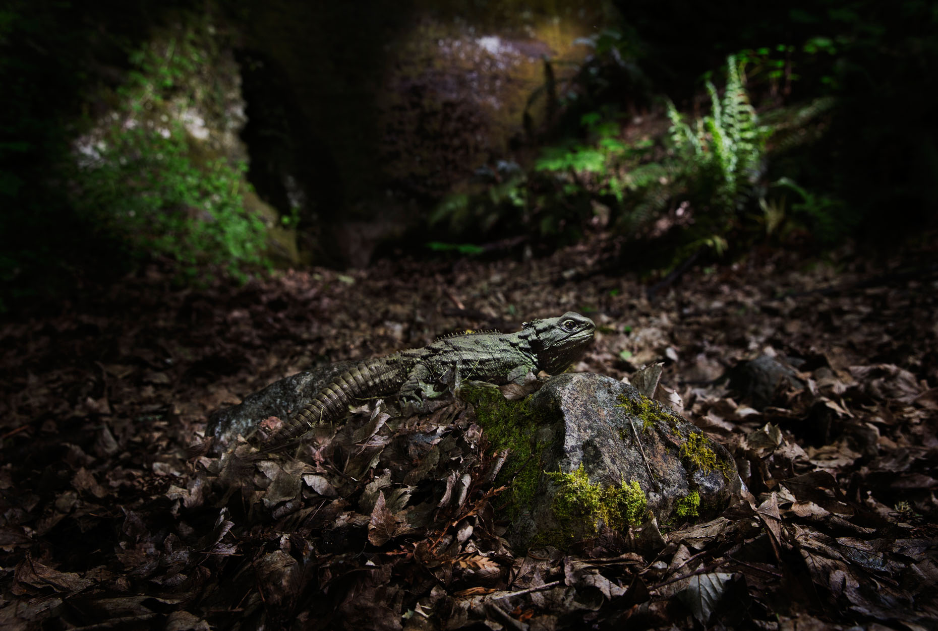 vaughanbrookfield_tuatara